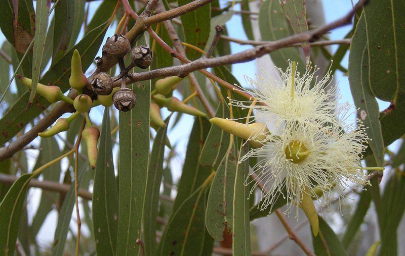 2-eucalipto