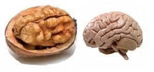 noce-cervello