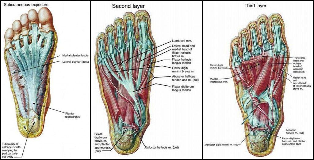 piede-muscoli